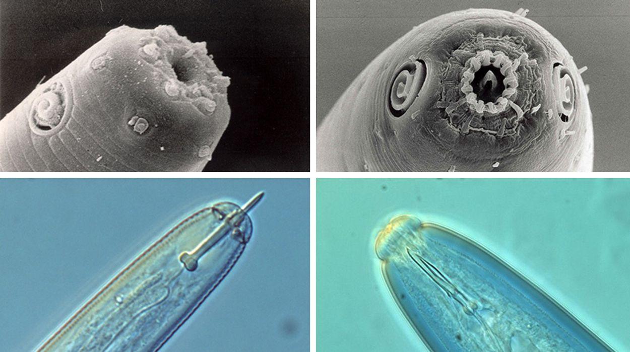 Aaltjes, © Laboratory of Nematology/Pictures: Hanny van Megen