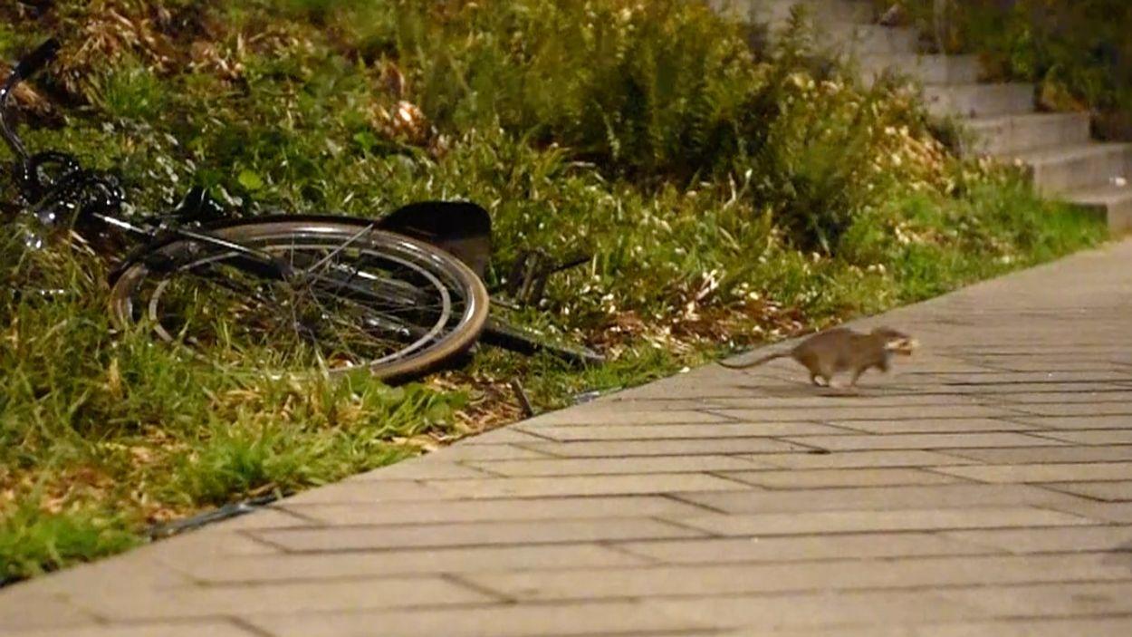 Afbeelding van Bruine ratten scharrelen door Arnhem