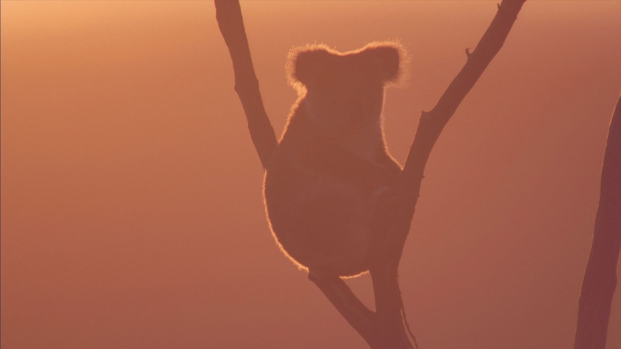Afbeelding van 480 miljoen dieren omgekomen in bosbranden Australië: WNF komt in actie