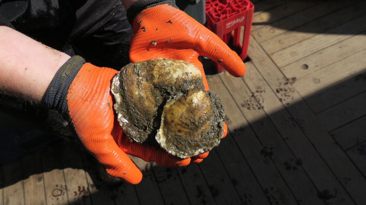 Afbeelding van Primeur: baby-oesters in de Noordzee