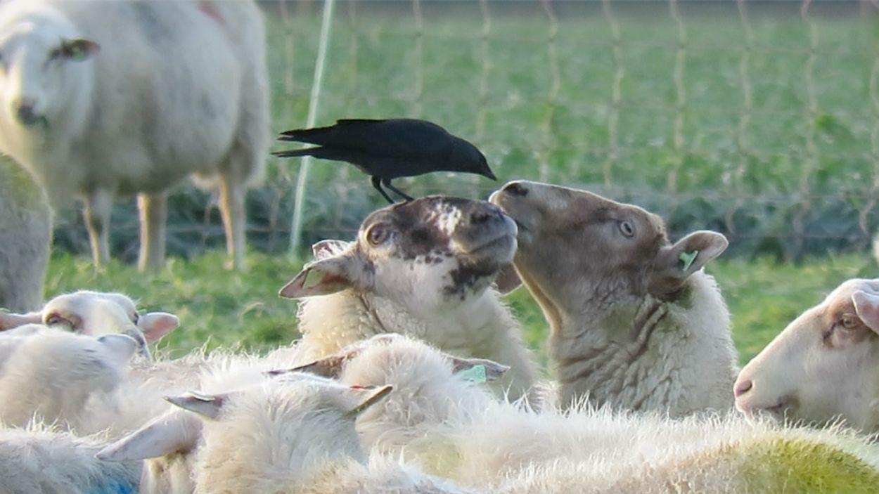 Afbeelding van Kauw eet snot uit een schapenneus | Zelf Geschoten