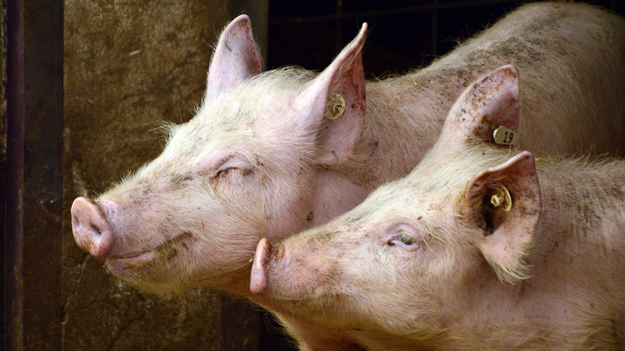 Afbeelding van 339.000 varkens dood door brand en hittestress