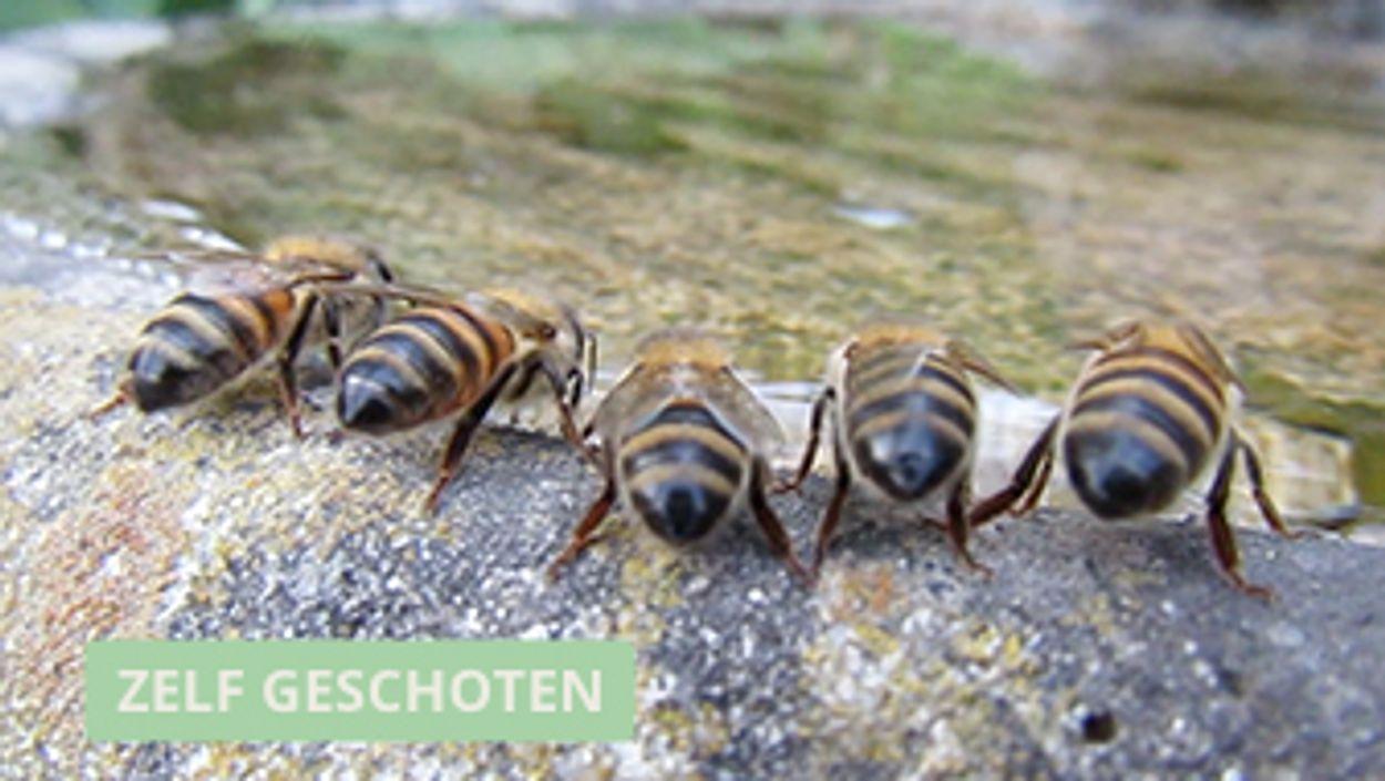 Afbeelding van Drinkende bijen