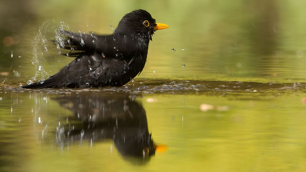 Afbeelding van Nationale Tuinvogeltelling: is de merel aan een comeback bezig?