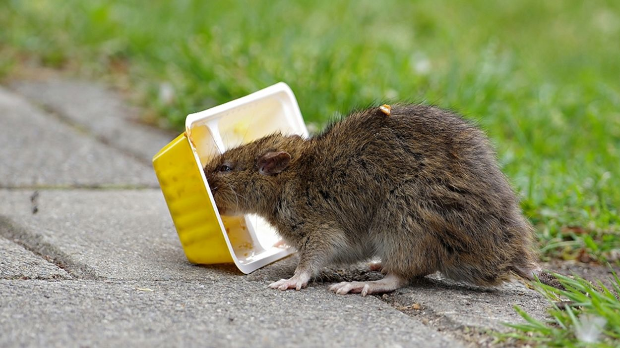 Afbeelding van Chinees nieuwjaar draait dit jaar om de rat