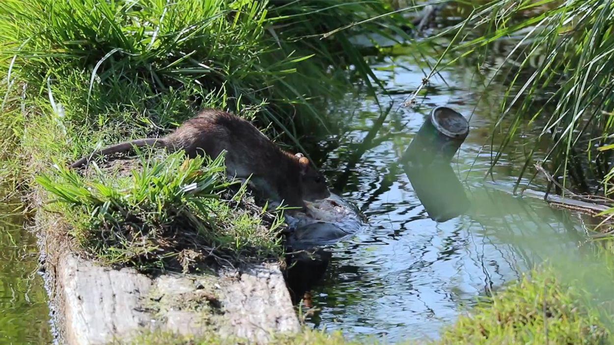 Afbeelding van Rat knabbelt aan dode karper