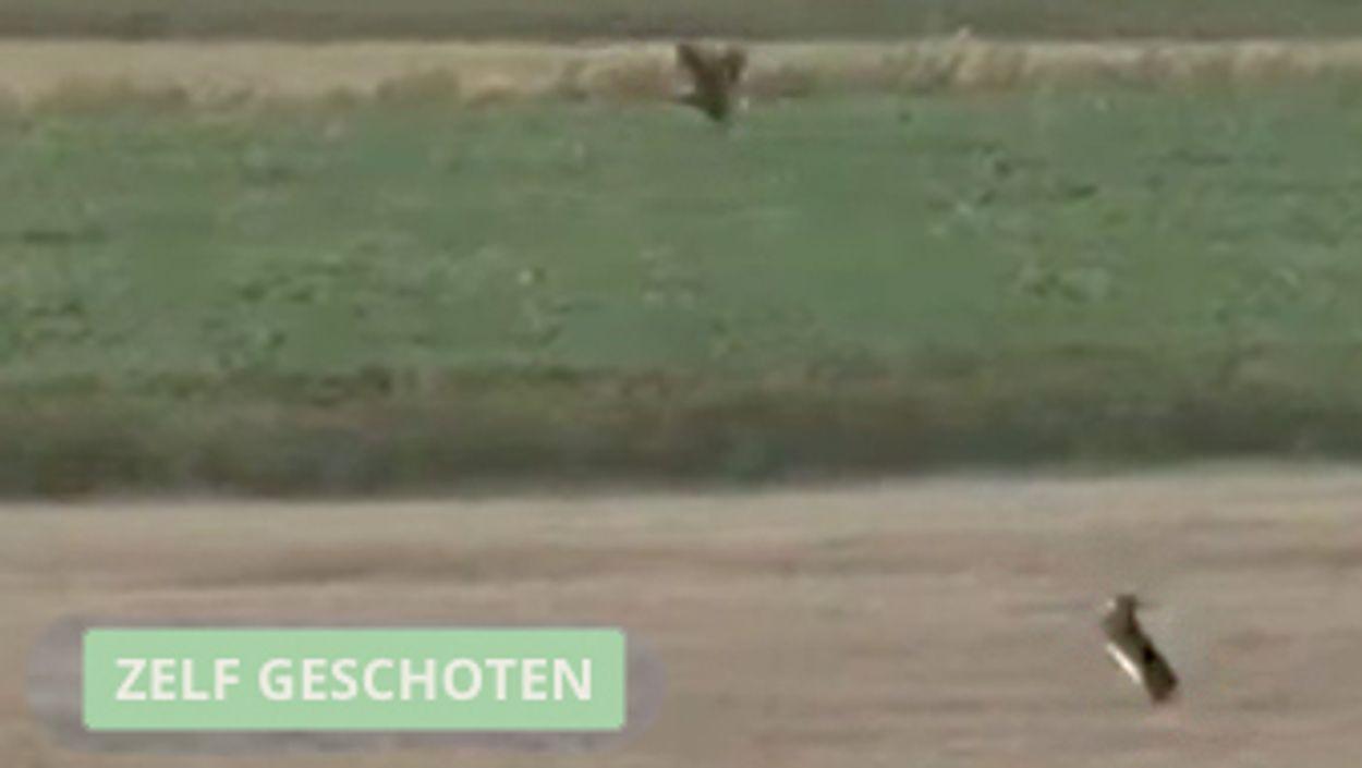 Afbeelding van Kat-en-muisspel tussen haas en bruine kiekendief