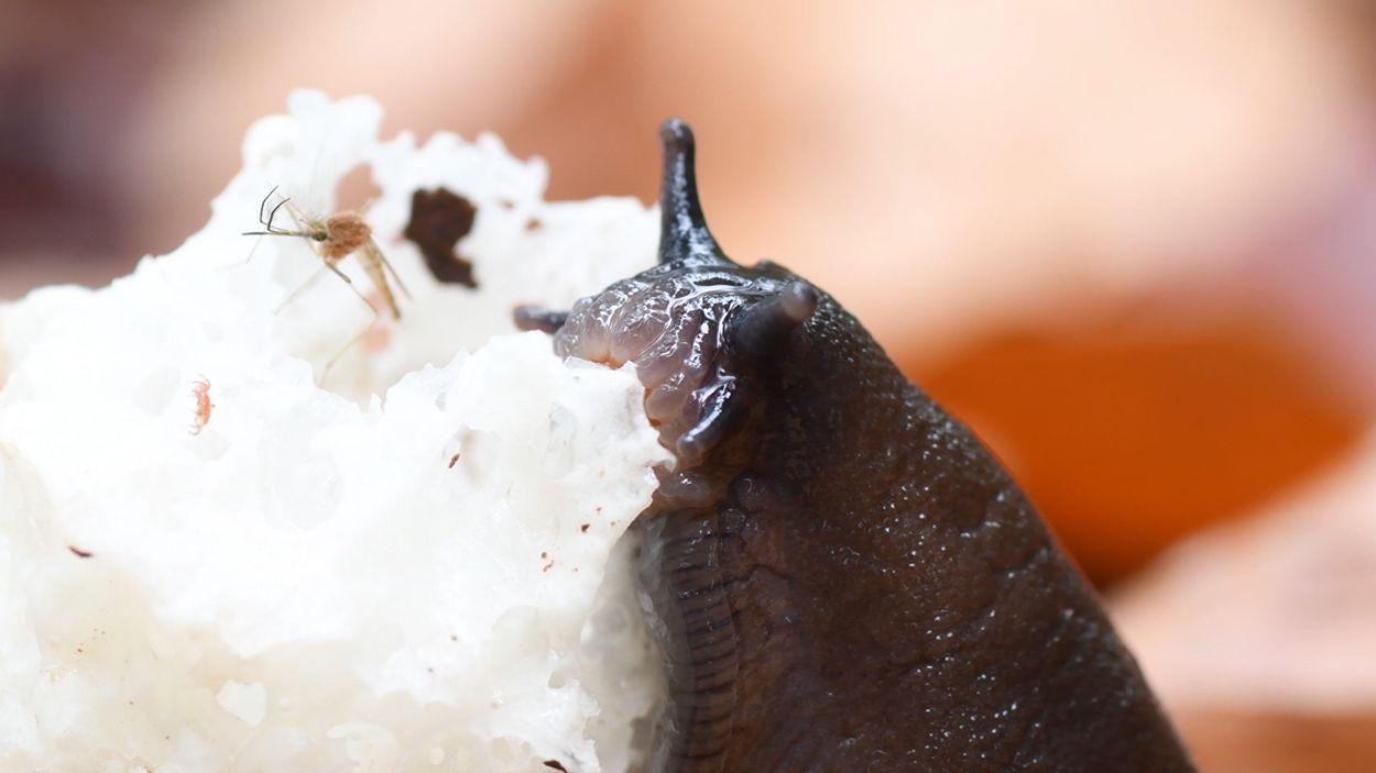 Afbeelding van Zo ziet de mond van een slak eruit | Zelf Geschoten