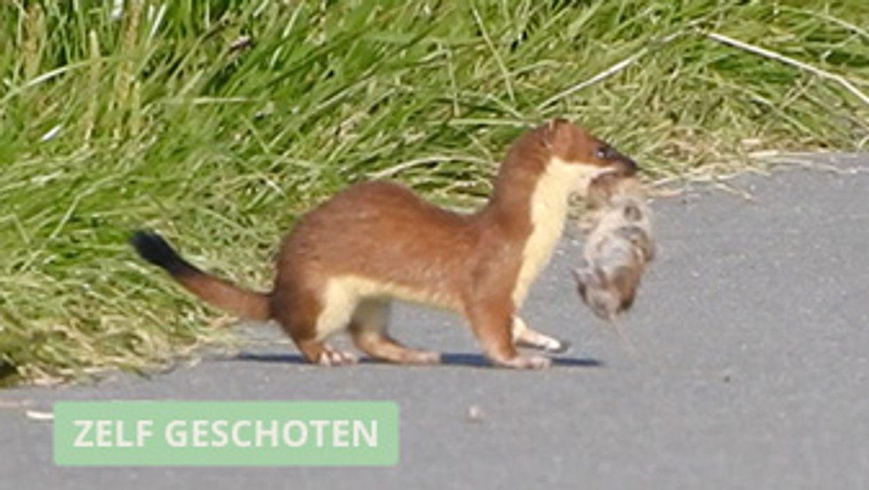 Afbeelding van Hermelijn speelt met muis
