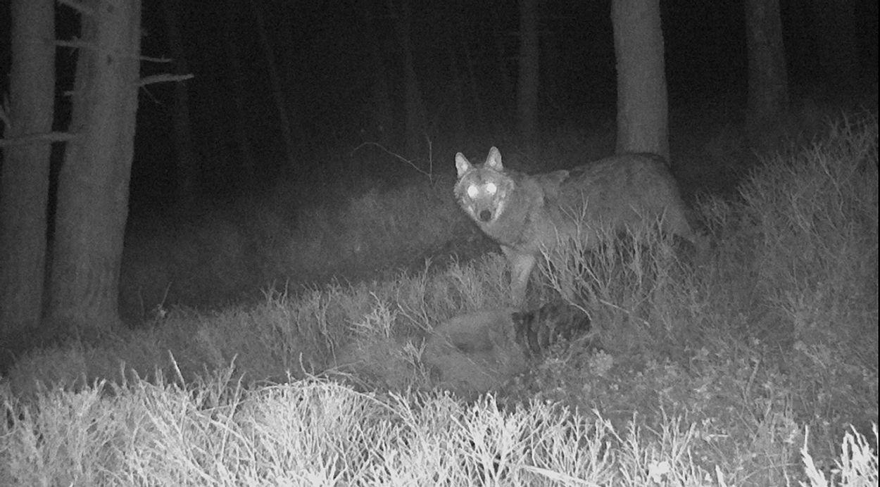 Afbeelding van Wolf breidt zijn leefgebied uit op de Veluwe
