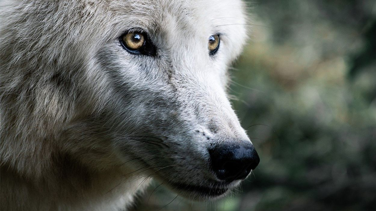 Afbeelding van Onderzoek naar puppy: is het een hond of wolf?