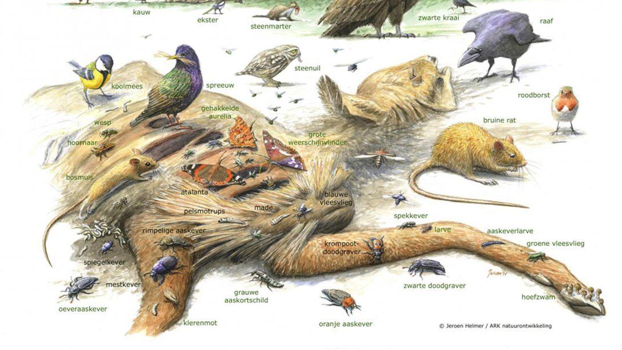Afbeelding van Dode dieren in de natuur zijn onmisbaar