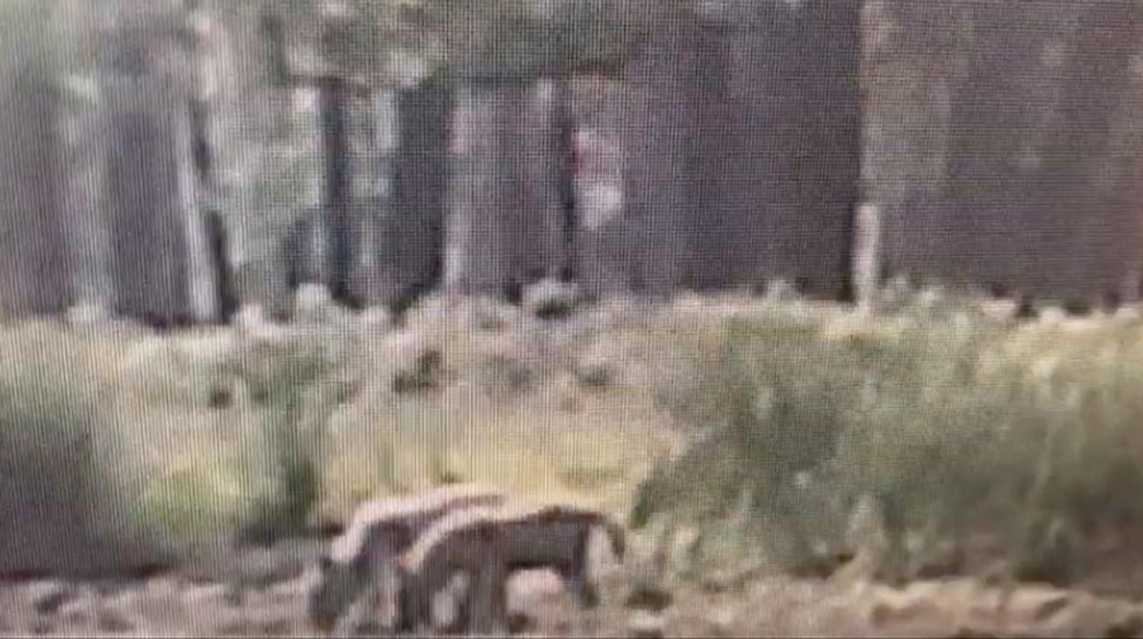 Afbeelding van Jonge wolfjes op de Veluwe