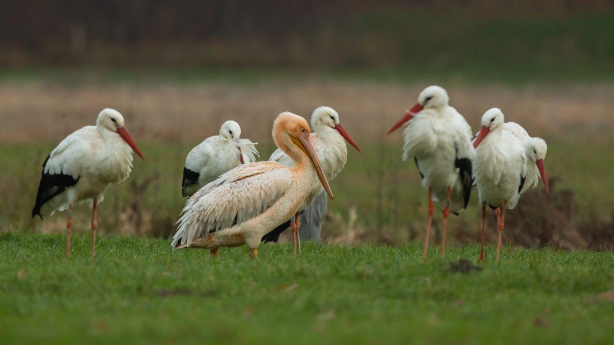 Afbeelding van Pelikanen komen ook in Nederland voor
