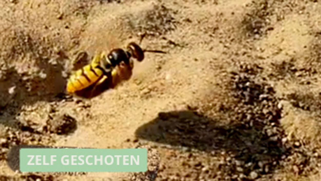 Afbeelding van Bijenwolf begraaft bij