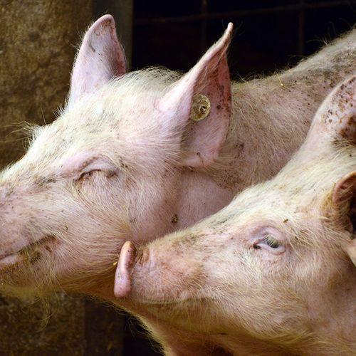 Afbeelding van Schaalvergroting varkensboeren zet door
