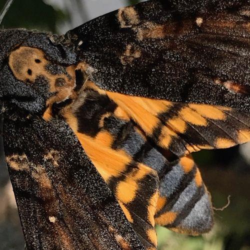 Afbeelding van Doodshoofdvlinder jaagt de stuipen op het lijf