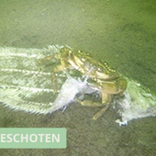 Afbeelding van Krabben ruimen Oosterschelde op