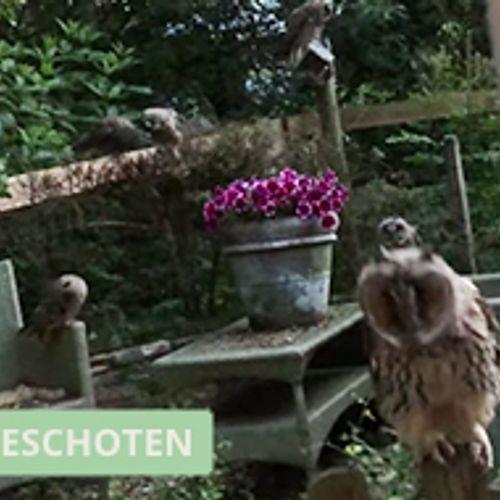 Afbeelding van Jonge ransuilen nemen kijkje in de tuin