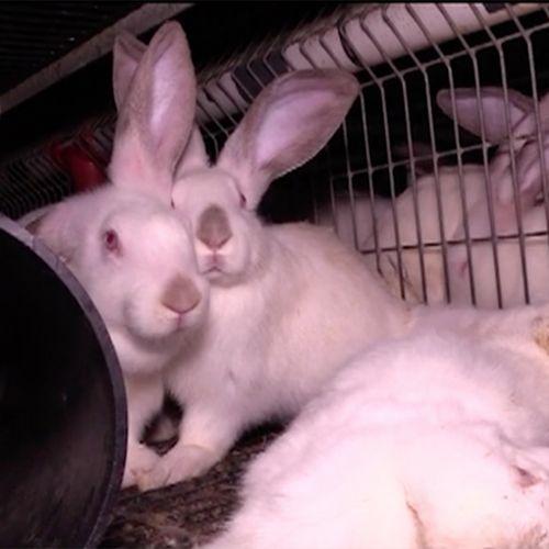 Afbeelding van Misstanden bij de konijnenhouderij